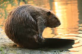 An image of a beaver next to a water.
