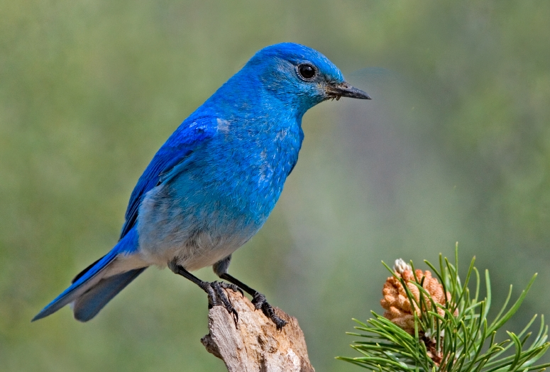A photograph of a Mountain Bluebird.