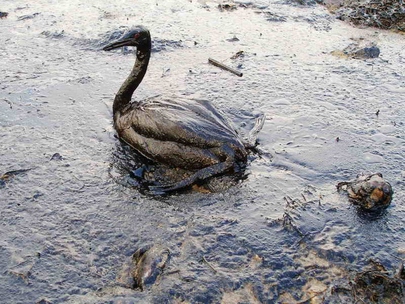 A photograph of a bird in the Black Sea oil spill.