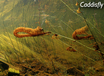 Hungry, hungry Caddisflies.