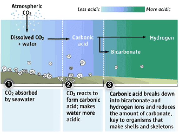 A diagram showing how increased CO2 leads to more acidic water resulting in a reduction in carbonate.