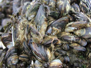 An aggregate of mussels.