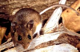 A picture of a Deer mouse.